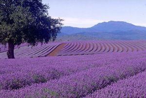 lavender-1.jpg.jpeg